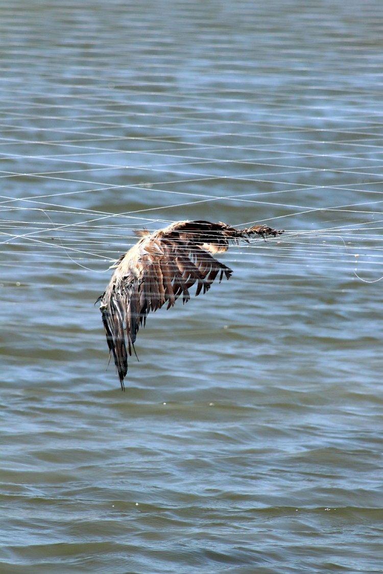 SPEA alerta para morte de aves em redes de aquacultura no estuário do Mondego
