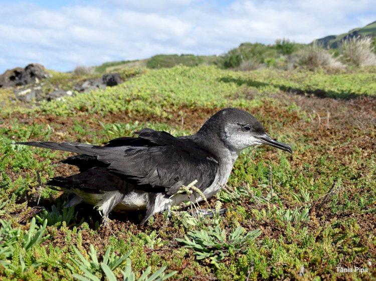 Ilha do Corvo apaga a iluminação pública para salvar aves marinhas