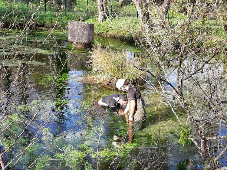 Município de Cantanhede devolve à natureza uma espécie nativa