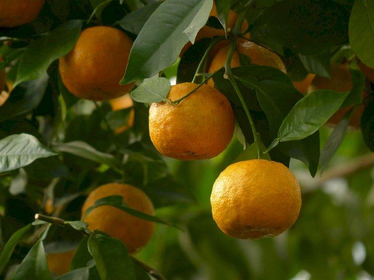 Câmara Municipal quer classificar a laranja de Amares como património vegetal de interesse municipal
