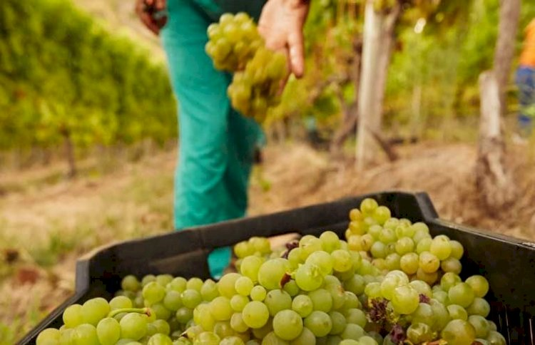 Instituto da Vinha e do Vinho prorroga prazo de apresentação das candidaturas ao VITIS até 1 de fevereiro
