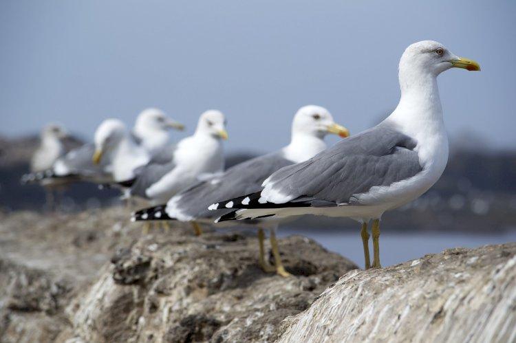 SPEA desafia os portugueses a contar gaivotas